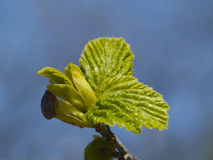 The first green leaves in spring Stock Photography