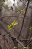 The first green leaves in spring Stock Photo