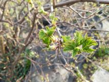The first green and little leaves of bush of gooseberry in early springtime Stock Photos