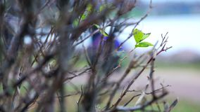 First green sprout on a tree branch in early spring.  stock video footage