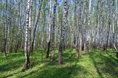 The first greens in spring birch wood. Filled in with the sun Royalty Free Stock Photography