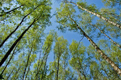 The first greens in spring birch wood. The bottom view royalty free stock photo