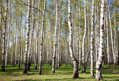 First greens in sunny birch forest Stock Photography