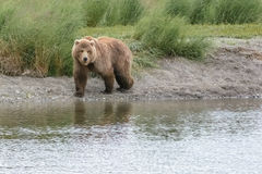 First grizzly emerges from the beach and heads up river to fish for salmon during the annual salmon run - Brook Falls - Alaska Stock Image