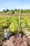 First harvest of organically grown new potatoes Royalty Free Stock Photo