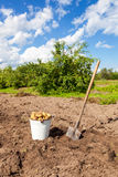First harvest of organically grown new potatoes Stock Photo