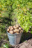 First harvest of organically grown potatoes Royalty Free Stock Photography