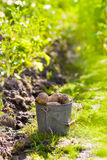 First harvest of potatoes  in garden Stock Photos
