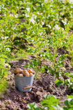 First harvest of potatoes  in garden Royalty Free Stock Photo