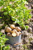 First harvest of potatoes  in garden Royalty Free Stock Image