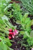 First harvest of radishes in raised bed garden stock photo