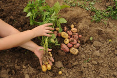 The first harvest of young potatoes. Harvested on their backyard in early summer by beginning farmer royalty free stock photography