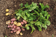 The first harvest of young potatoes. Harvested on their backyard in early summer by beginning farmers stock photo