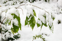 The first heavy snow on the branches of the bushes. Royalty Free Stock Photos