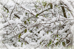 The first heavy snow on the branches of trees. Stock Image