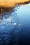 First ice on the lake shore, golden dry reeds beside the blue wa Stock Photos