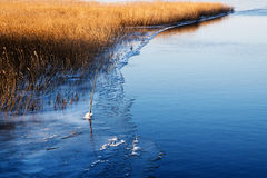 First ice at the lake shore, golden reeds beside the blue water, Stock Images