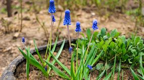 The first inconspicuous flowers Muscari appeared in the eyes of the spring stock image