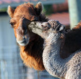 First Kiss. Camel Calf kisses his mother, Camelia Royalty Free Stock Photo