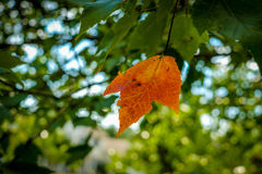 One Orange Leaf on a Green Maple Tree Stock Images