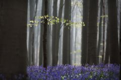 First leafs early spring pristine beech forest with bluebell wild flowers stock photography
