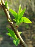 First leaves. Brunch of pear tree with first leaves in sun beams Royalty Free Stock Photo