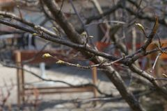 First leaves beginning to grow on the tree in spring Stock Photo