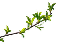 First leaves of cherry tree branch Royalty Free Stock Photography