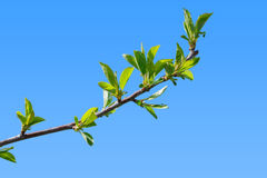 First leaves of cherry tree branch Stock Image
