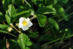 First leaves, flower and buds of wild strawberry growing, spring in forest, soft blurry green background. First leaves, flower and buds of wild strawberry royalty free stock image