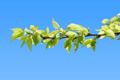 First leaves on peach tree branch Stock Images