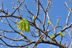 First leaves in spring Royalty Free Stock Photography