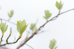 First leaves on tree in spring Royalty Free Stock Images