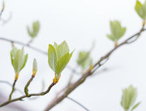 First leaves on tree in spring Royalty Free Stock Photo