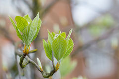 First leaves on tree in spring Stock Images