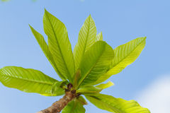 First leaves on tree Stock Photography