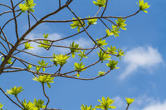 First leaves on tree Royalty Free Stock Image