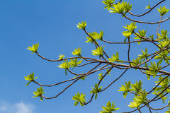 First leaves on tree Royalty Free Stock Photos