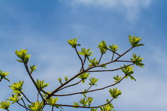 First leaves on tree Royalty Free Stock Photography