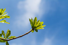 First leaves on tree Stock Images