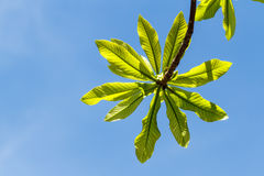 First leaves on tree in spring Royalty Free Stock Photos