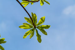First leaves on tree in spring Stock Image