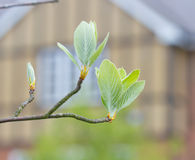 First leaves on a tree in spring Royalty Free Stock Photos