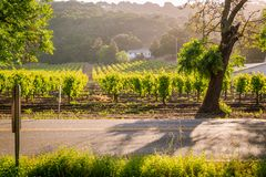 Warm Morning Sunlight on the Vineyards stock photos