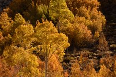 Aspens in autumn, Inyo National Forest, California 12 Stock Photo