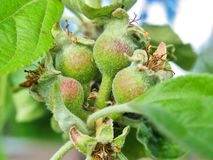 The first little apples with leaves Royalty Free Stock Photos