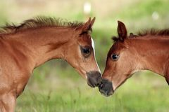 First Love. Two foals nose to nose with each other Stock Images