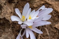 First Meadow Saffron Flower royalty free stock photo