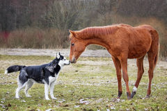 The first meeting husky and a foal Stock Photos