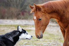 The first meeting husky and a foal